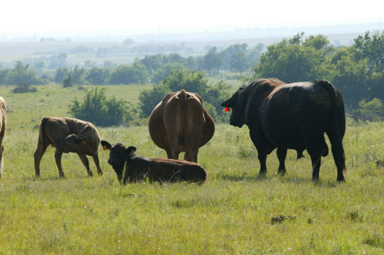 Bulls and Cows Mating Pictures http://oklahomafarmreport.com/wire/cattlenews/00075_BreedingSoundnessExam03272010_214910.php