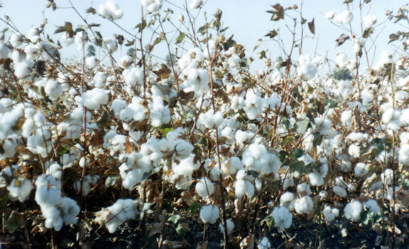 Oklahoma Farm Report Cotton Producers Need to Look Out for