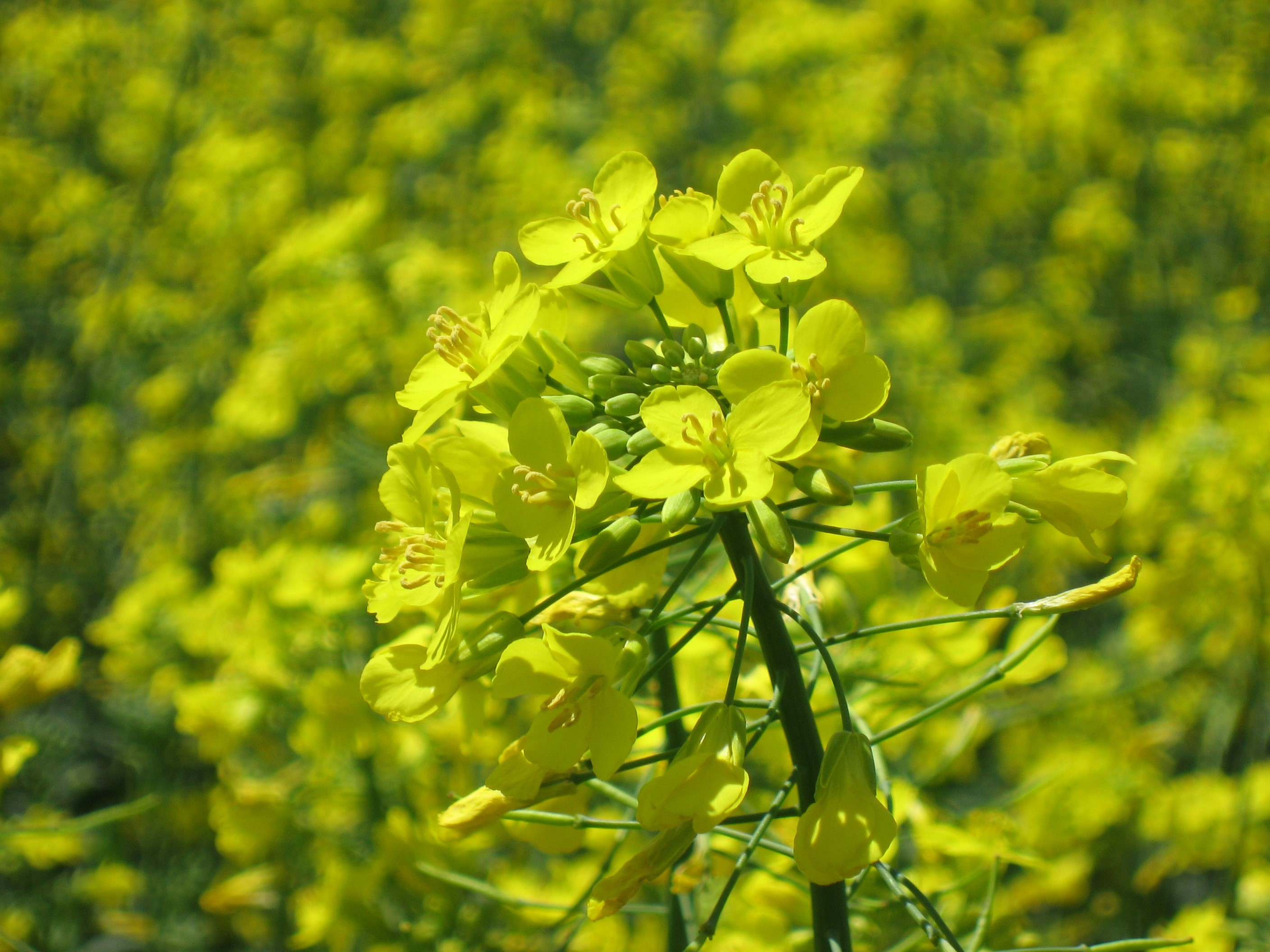 Oklahoma Farm Report Us Looking To Expand Canola Crop Due To Demand