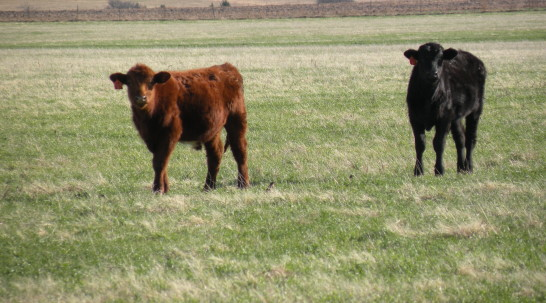 Oklahoma Farm Report - Both Grain and Cattle Industries
