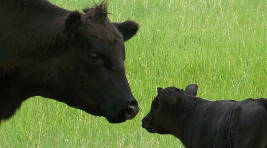 Critical Year and Time for Producers to Pregnancy Check Cows