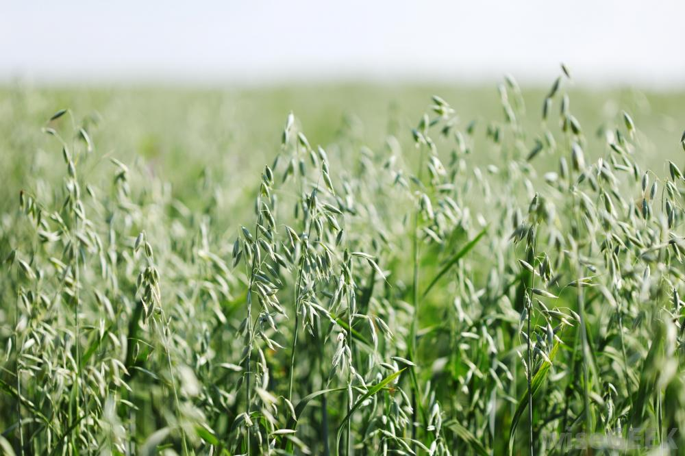 Oklahoma Farm Report - Spring-Planted Oat: Good Forage ...