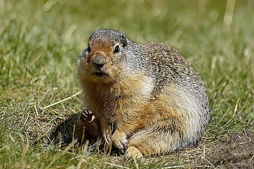 gopher image courtesy of Oklahoma Farm Report