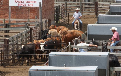 Unprecedented Four-Week Run in Fed Cattle Prices Linked to Solid Export Demand, Strong Markets